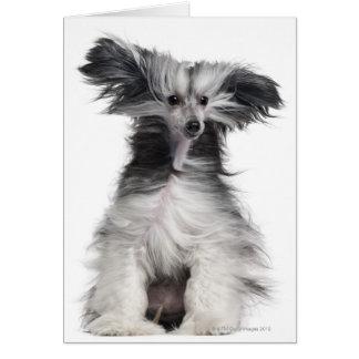 Perro con cresta chino (15 meses) en el viento tarjeta de felicitación
