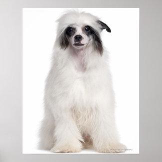 Perro con cresta chino (7 meses) posters