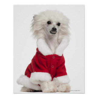 Perro con cresta chino a que lleva (de 1 año) impresiones