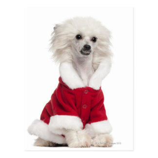 Perro con cresta chino a que lleva (de 1 año) postal