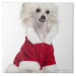 Perro con cresta chino a que lleva (de 1 año) teja