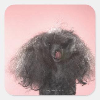 Perro con el pelo delante de la cara y de la calcomanías cuadradass personalizadas
