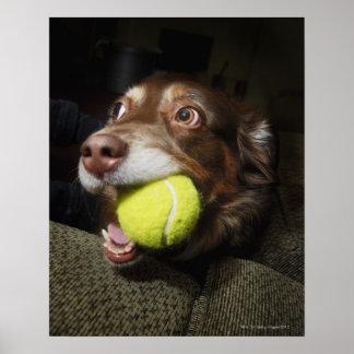 Perro con la pelota de tenis póster