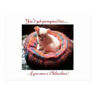 Perro cuidado en exceso de la chihuahua tarjetas postales