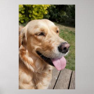 perro de 1 año joven rubio del golden retriever en posters