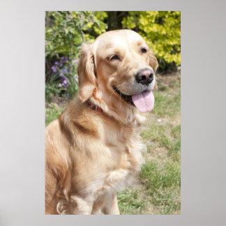 perro de 1 año joven rubio del golden retriever en impresiones