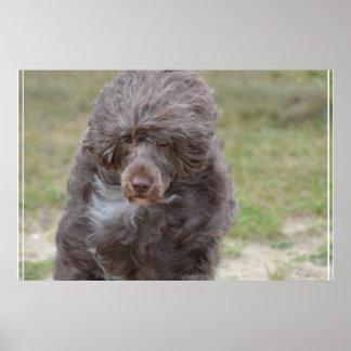 Perro de agua portugués dulce póster