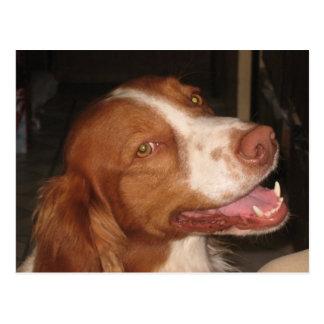 Perro de aguas de Bretaña sonriente Tarjeta Postal