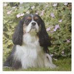 Perro de aguas de rey Charles arrogante tricolor Azulejo Cuadrado Grande