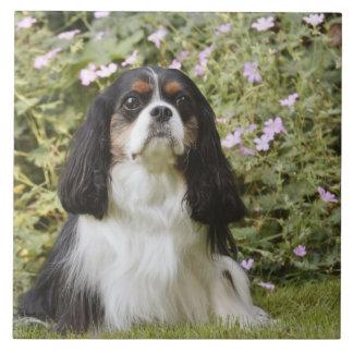 Perro de aguas de rey Charles arrogante tricolor e Azulejo Cuadrado Grande