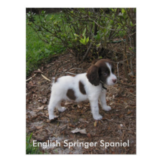 Perro de aguas de saltador inglés posters