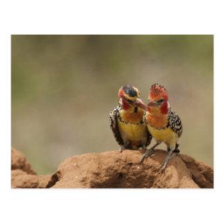 Perro de aguas rojo y amarillo que come termitas tarjetas postales