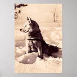 Perro de Alaska Iditarod, circa 1940 Impresiones