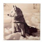 Perro de Alaska Iditarod Tejas