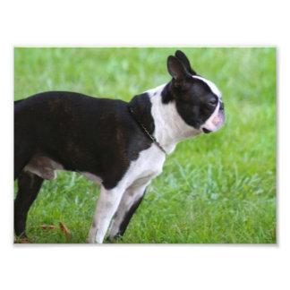Perro de Boston Terrier Arte Con Fotos