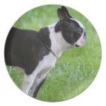 Perro de Boston Terrier Plato Para Fiesta