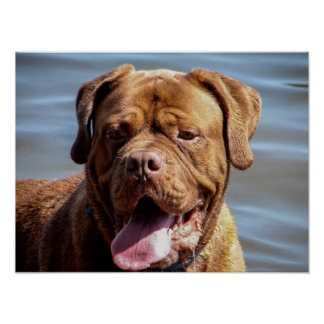 perro de Burdeos Póster