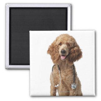 Perro de caniche de oro que lleva un estetoscopio imanes de nevera