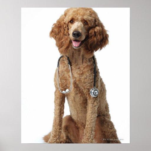 Perro de caniche de oro que lleva un estetoscopio póster