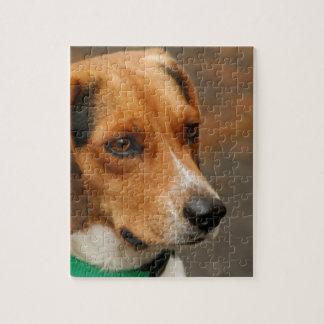 Perro de caza enfocado inteligente del beagle rompecabezas con fotos