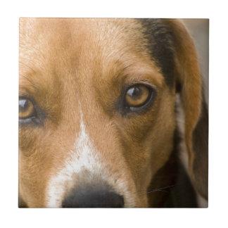 Perro de caza leal del perro del beagle teja cerámica