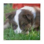 Perro de islandia azulejo cuadrado pequeño
