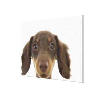 Perro de la salchicha de Frankfurt (marrón) Impresión En Lienzo Estirada