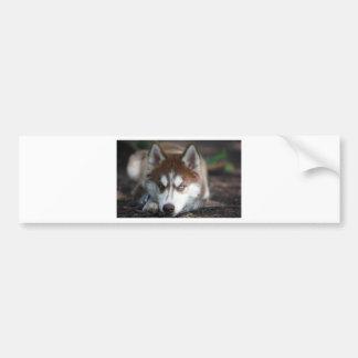 Perro de los ojos azules del husky siberiano pegatina para auto