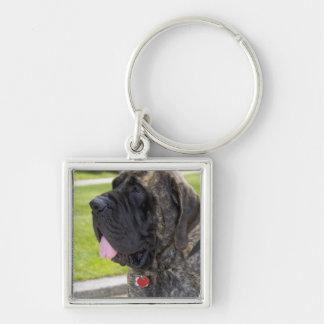 Perro de Mastif del inglés en Bryon, Ohio Llavero Cuadrado Plateado