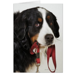Perro de montaña de Bernese (Berner Sennenhund) Tarjeta De Felicitación