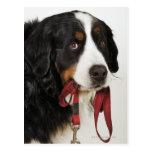 Perro de montaña de Bernese (Berner Sennenhund) Tarjeta Postal