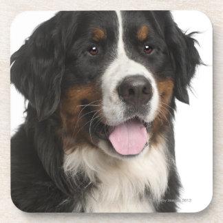 Perro de montaña de Bernese de 1 año Posavasos De Bebida