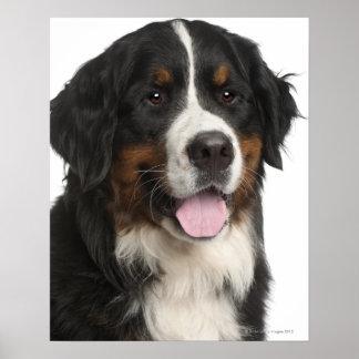Perro de montaña de Bernese (de 1 año) Póster