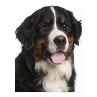 Perro de montaña de Bernese (de 1 año) Tarjeta Postal