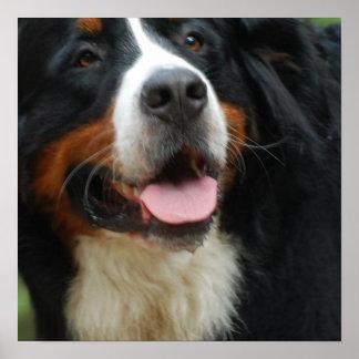 Perro de montaña de Bernese del bebé Póster