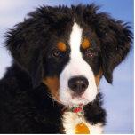 Perro de montaña de Bernese - foto linda del perri Escultura Fotografica