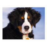 Perro de montaña de Bernese - foto linda del perri Postal