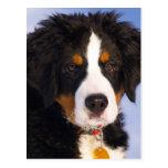 Perro de montaña de Bernese - foto linda del perri Tarjetas Postales