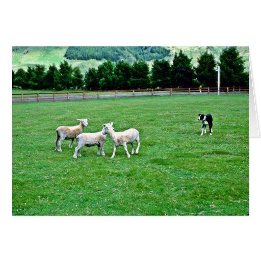 Perro de ovejas y ovejas, el Agrodome, Rotorua Felicitacion