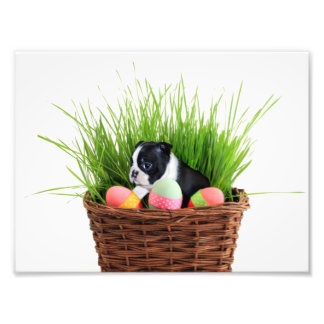 Perro de Pascua Boston Terrier Fotografias