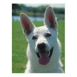 Perro de pastor alemán blanco tarjetas postales