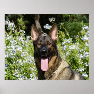 Perro de pastor alemán hermoso póster