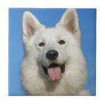 Perro de pastor suizo azulejo ceramica