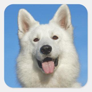 Perro de pastor suizo pegatina cuadrada