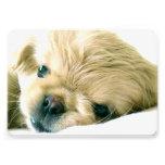 Perro de Pekingese