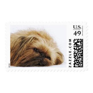 Perro de Pekingese, cierre para arriba Estampilla