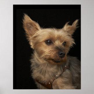 Perro de pelo corto de Yorkie que mira a la derech Póster