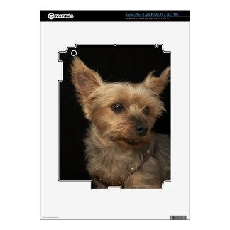 Perro de pelo corto de Yorkie que mira a la iPad 3 Skin