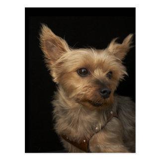 Perro de pelo corto de Yorkie que mira a la Postales