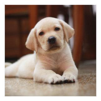 Perro de perrito amarillo de Labrador del bebé que Fotografias